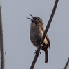 Carolina Wren at Van Cortlandt Park