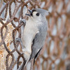 Tufted Titmouse at Van Cortlandt Park