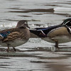 Wood Ducks at Tibbetts Brook Park
