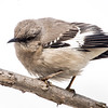 Mockingbird at Van Cortlandt Park