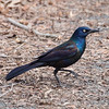 Grackle at Van Cortlandt Park