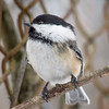 Black-capped Chickadee at Van Cortlandt Park