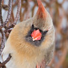 Northern Cardinal at Van Cortlandt Park