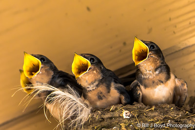 Baby Barn Swallows....Austin...June 2015