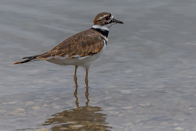 Killdeer...White Rock Lake....Sep 2015