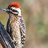 Male Ladderback Woodpecker, Pedernales Falls SP, Texas...Feb 2015