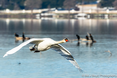 Mute Swan...White Rock Lake, Dallas, Texas...March 2015