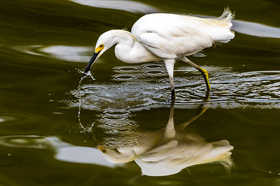 Snow Egret....White Rock Lake, Dallas....Aug 2015