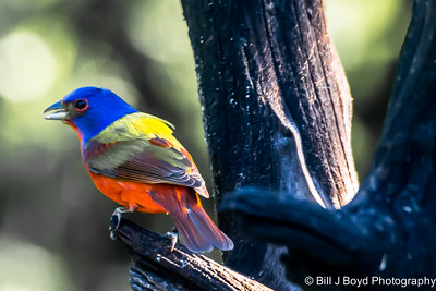 Painted Bunting...Pedernales SP...May 2, 2015