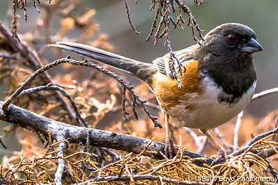 Spotted Towhee...Pedernales Falls SP, Texas...March 2015