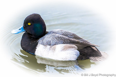 Lesser Scaup. White Rock Lake, Dallas, Texas...Jan 2015