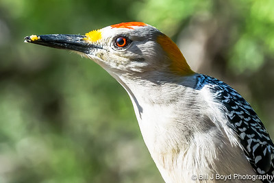 Golden-Fronted Woodpecker...Pedernales Falls SP, Texas...March 2015