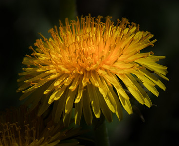 Dandelion in Summer