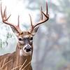 Deer in my backyard...Austin...Dec 2015