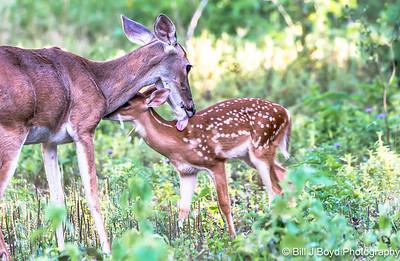Backyard Deer...Austin...June 2015