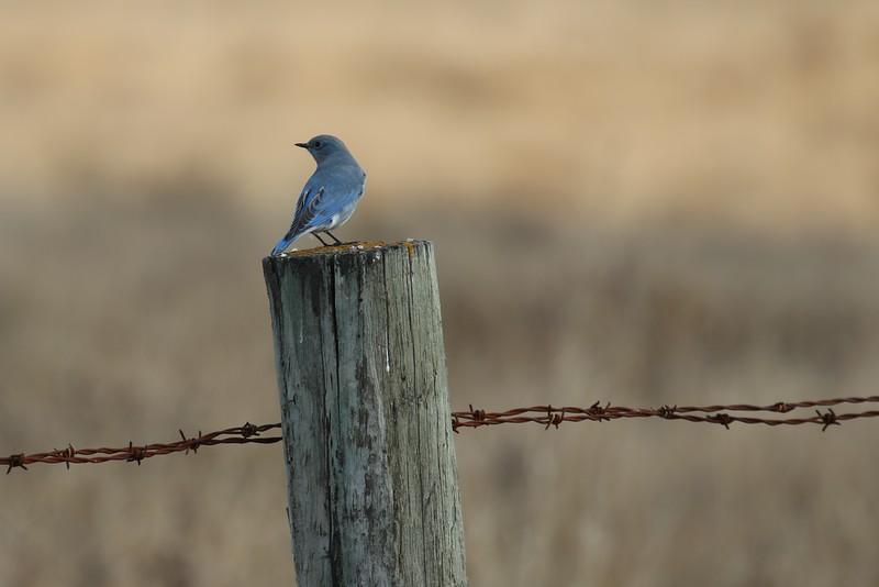 mountain Bluebird; Mountain; Bluebird