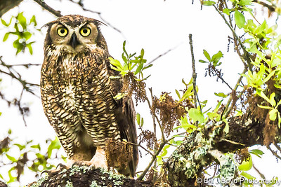 Great Horned Owl...Lady Bird Wildflower Center, Austin...April 13, 2015
