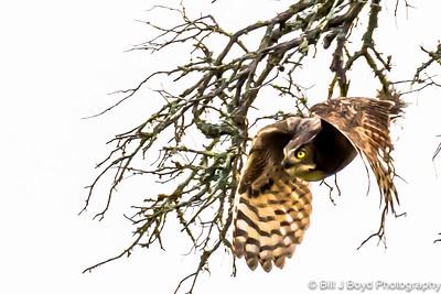 Great Horned Owl...Lady Bird Wildflower Center, Austin...April 16, 2015