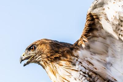 Red Shouldered Hawk...July 2015