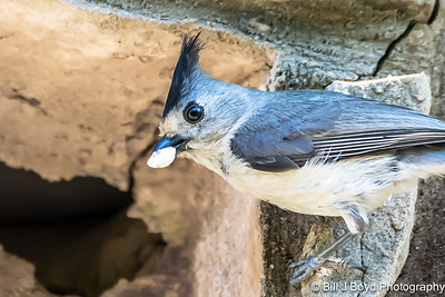 Titmouse bringing food to nest....April 27, 2015