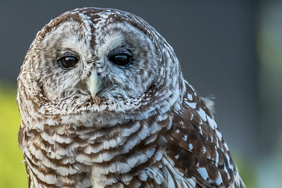 Barred Owl...July 2015