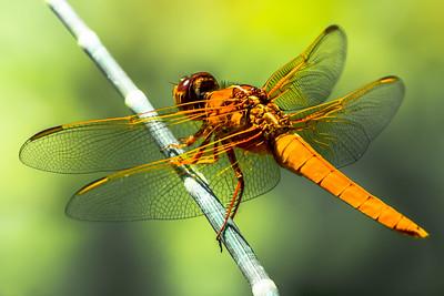 Dragon Fly...Lady Bird Wildflower Center...April 25, 2015