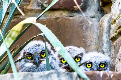 Great Horned Owl siblings...Lady Bird Wildflower Center, Austin...April 15, 2015