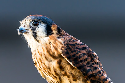 Kestrel...July 2015