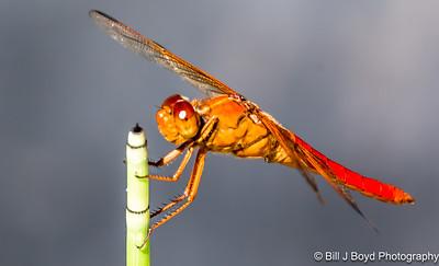 Dragonfly...Ladybird Wildflower Center, Austin...June 2015