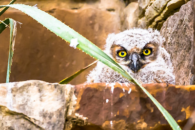 Great Horned Owl Baby...Lady Bird Wildflower Center, Austin...April 16, 2015