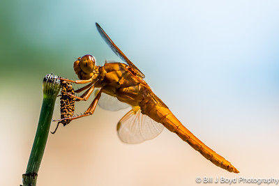 Dragon Fly...Lady Bird Wildflower Center, Austin...May 30, 2015