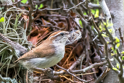 Bewick Wren building a nest...Lady Bird Wildflower Center, Austin...April, 2015