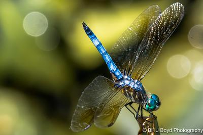 Dragonfly...Lady Bird Wildflower Center, Austin...June 2015