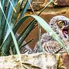 Baby GHO....Lady bird Wildflower Center, Austin...April 13, 2015