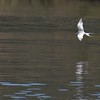 Lake Pleasant Bald Eagle Nestwatch - Forster's tern