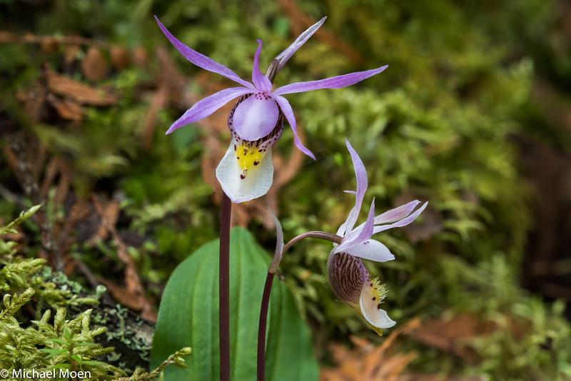 Calypso Orchid's, Beltrami County, MN