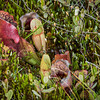 Pitcher Plants and Sundew's