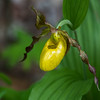 Yellow Lady's Slipper Orchid, Beltrami County, MN