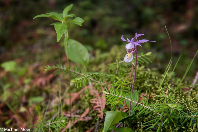 Calypso Orchid, Beltrami County, MN