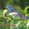 Northern Mockingbird - Sept 27, 2015 - Lr Sackville, NS