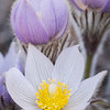 Pasque Flower 2