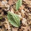 Putty-root orchid leaf