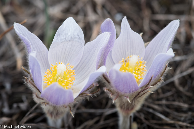 Pasque Flower 7