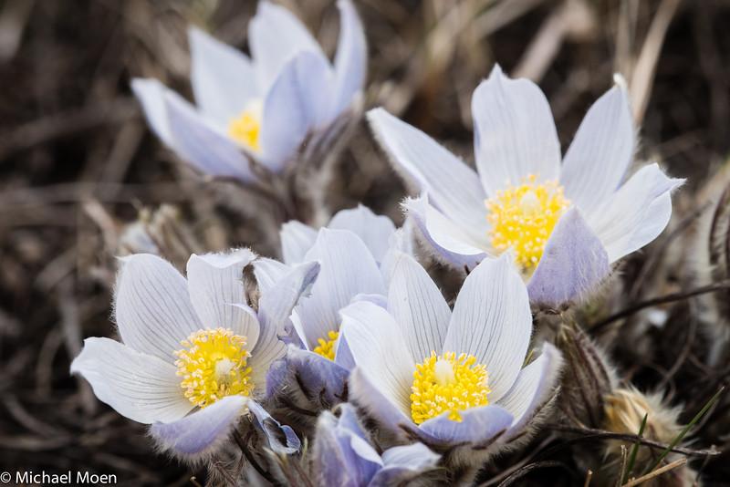 Pasque Flower 6