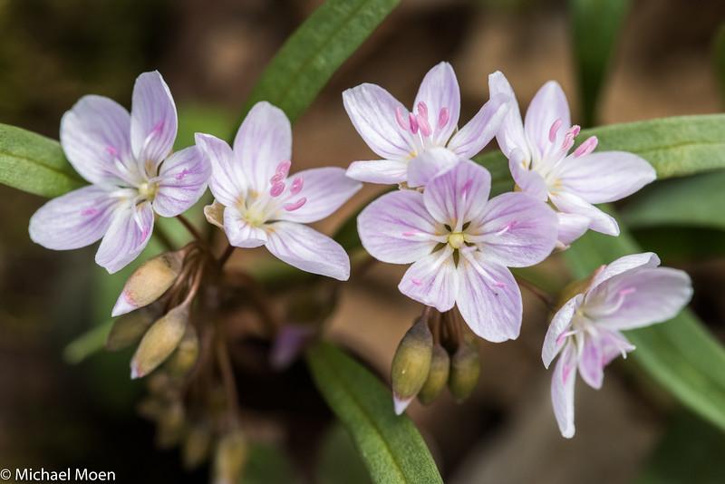 Spring Beauty Flower