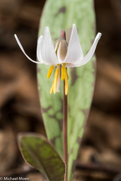 Trout Lilly
