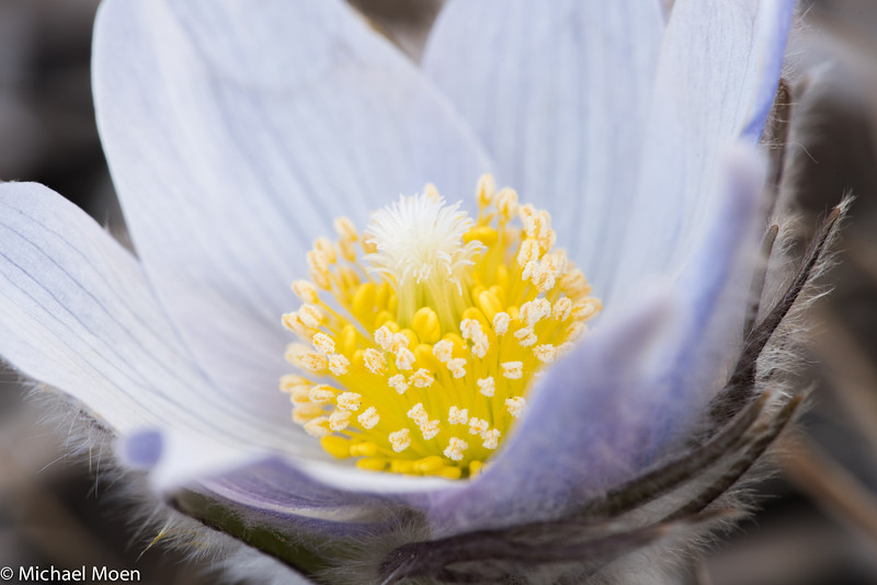 Pasque Flower 3