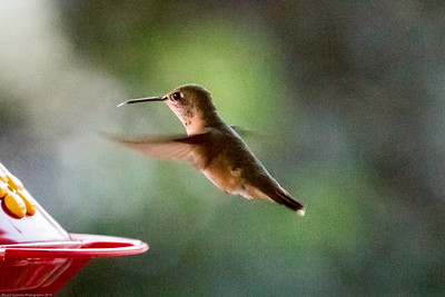 hummingbirds 7-12-15-11