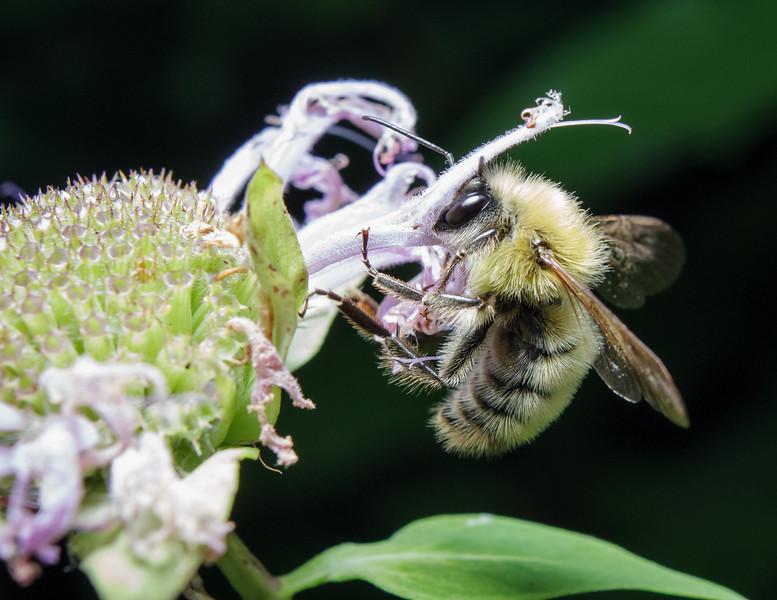 Bee on Wild Bergamot