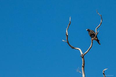 A beautiful Eagle watching us